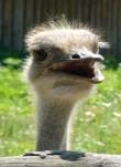 Ostrich-photo